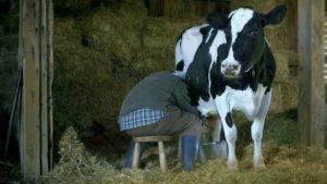 dojenie kravského vemena