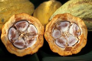 extrakt z kakaovníka