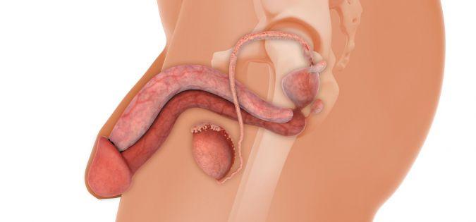 anatómia penisu