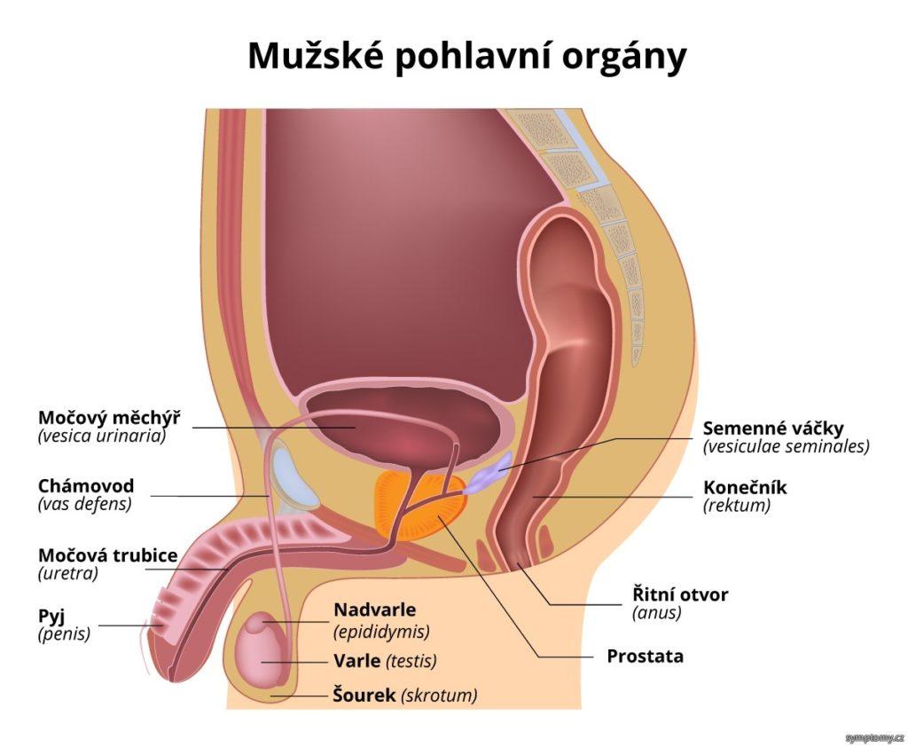 mužské pohlavné orgány